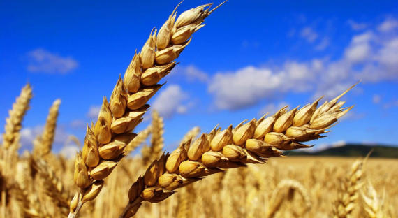 <p>I will buy wheat. Nizhny Novgorod region and Chuvashia. Payment by bank transfer.</p>  <p>Grade 5. Humidity not less than 14%<br /> we will come for grain analysis ourselves.</p>  <p>Volume from 120 tons.</p>  <p>(translated from russian)</p>